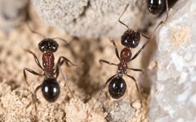 4 Tips To Choose Professional Ant Exterminator