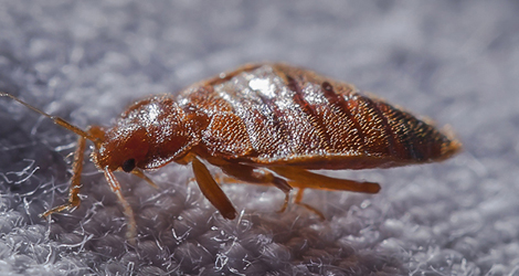 How To Prepare Your Home For Bed Bug Treatment?