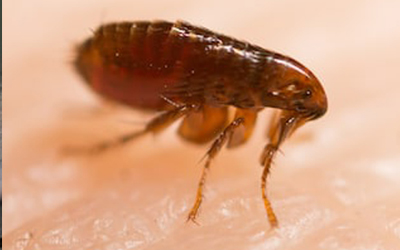 4 Lesser Known Facts About Flea Infestation